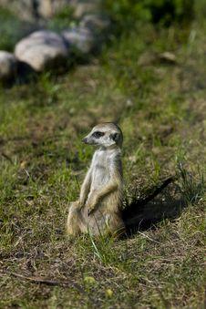 Free Meerkat - Suricate On Grass Royalty Free Stock Images - 14472759