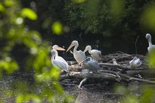 Free Pelican Nest On Lake Stock Image - 14472761
