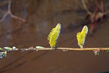 Free Buds Tree Stock Photo - 14474520