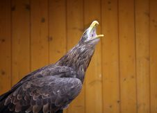 Free Eagle In The ZOO Stock Images - 14475084