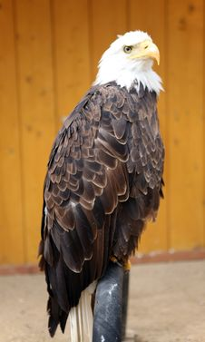Free American Bald Eagle Stock Photos - 14475093
