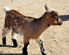 Free A Kid Goat Royalty Free Stock Photography - 14478567