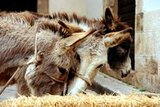 Donkeys Royalty Free Stock Image