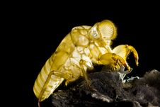 Free Skin Of Cicada Royalty Free Stock Image - 14479716