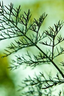 Free Fennel And Raindrops. Royalty Free Stock Photo - 14479895