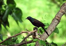 Free Intent Grackle Stock Images - 14479954