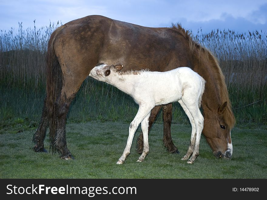 A foal feeding from it`s mother