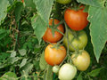 Free A Bunch Of Tomatoes Stock Images - 14480034