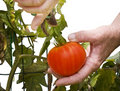 Free Picking Fresh Tomato Stock Image - 14480461