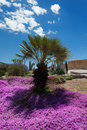 Free Palm Tree Surrounded By Purple Flowers Royalty Free Stock Photography - 14480977