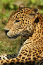Free Portrait Of A Leopard Laying In The Grass Royalty Free Stock Photo - 14482005
