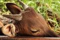 Free Sad Tired Cow. Stock Photos - 14487033