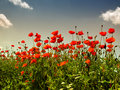 Free Poppies Stock Image - 14487941