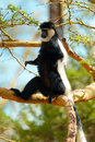 Free Black-and-white Colobus Monkey Stock Image - 14489181