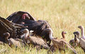 Free The Cape Griffon Or Cape Vultures Stock Image - 14489241
