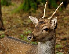 Free Fallow Deer (Dama Dama) Stock Photos - 14480063