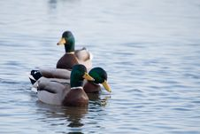 Free Ducks Stock Photo - 14480210