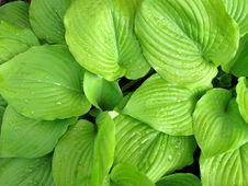 Free Hosta Leaves_background Stock Photo - 14480580