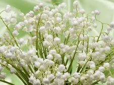 Free Lily Of The Valley Royalty Free Stock Image - 14481456