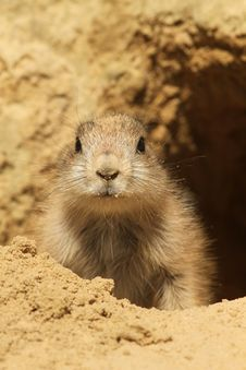 Free Baby Prairie Dog Looking At You Stock Photography - 14482072