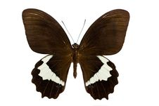 Papilio Gambrisius Stock Photos