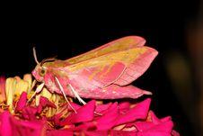 Hawk Moth (Deilephila Elpenor) Royalty Free Stock Photo