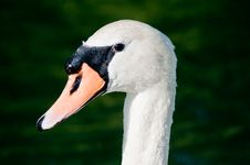 Free Swan Stock Photo - 14483390