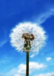 Free Dandelion Clock Stock Photos - 14483623