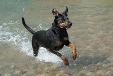 Free Doberman Running Through The Water Stock Photos - 14483773