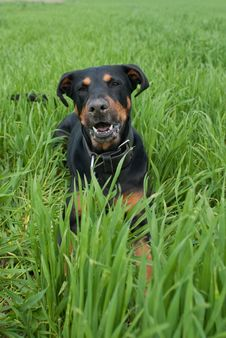 Free A Barking Doberman Lying In The Lawn Royalty Free Stock Photography - 14483797