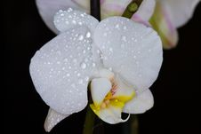 Free Orchid Royalty Free Stock Images - 14483889