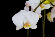 Free Orchid Stock Images - 14483904