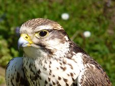 Free Buzzard Closeup Royalty Free Stock Photography - 14484057
