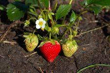 Free First Ripe Strawberry Stock Photo - 14484120