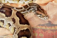 Free Python Close-up Stock Images - 14484164