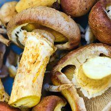 Free Heap Of Armillaria Closeup Stock Photos - 14484173