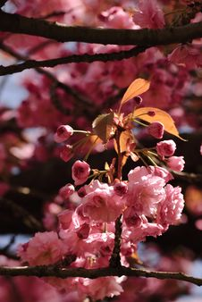 Free Sakura Blooming Royalty Free Stock Images - 14484479