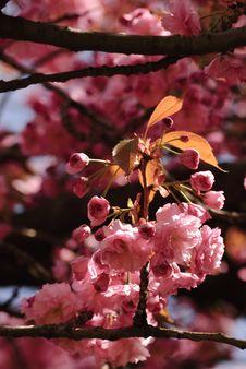 Sakura Blooming Royalty Free Stock Images