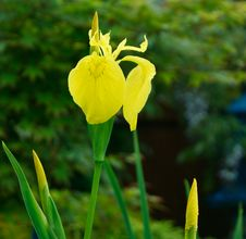Free Daffodil Couple Royalty Free Stock Photos - 14484488