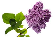 Free Lilac Branch Isolated On White Royalty Free Stock Image - 14484566