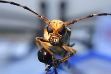 Free Close Up Alien-like Cerambycidae Royalty Free Stock Photography - 14485387