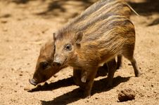 Free Baby Forest Hogs Stock Images - 14485404