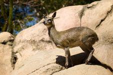 Free Deer On Rocks Stock Image - 14485471