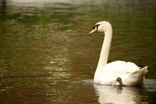 Free Swan Stock Photos - 14485503