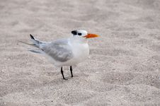 Free Royal Tern Stock Images - 14486084