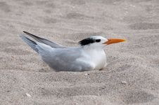 Free Royal Tern Royalty Free Stock Photography - 14486097