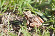 Free Grass Frog - Rana Temporaria Stock Image - 14486721