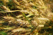 Free Wheat Stock Photos - 14487833