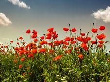 Free Poppies Stock Image - 14487941