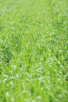 Free Green Grass Royalty Free Stock Photo - 14487955